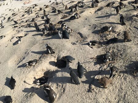 African Colony Penguins at Boulders Beach Table Mountain Nation Cape Bird South Africa 版權商用圖片 - 128725355
