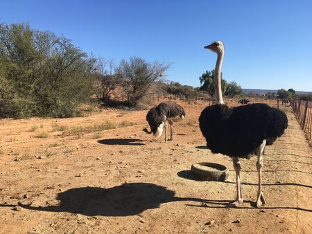 Commercial Ostrich farm, Oudtshoorn, Western Cape, South Africa