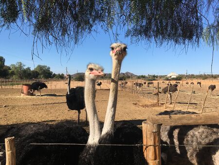 Commercial Ostrich farm, Oudtshoorn, Western Cape, South Africa 版權商用圖片 - 128725417