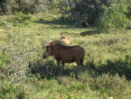 Facacoquero in Addo Elephant National Park South Africa 版權商用圖片 - 128725426