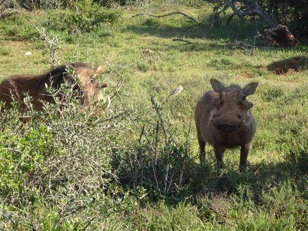 Facacoquero in Addo Elephant National Park South Africa 版權商用圖片 - 128725427