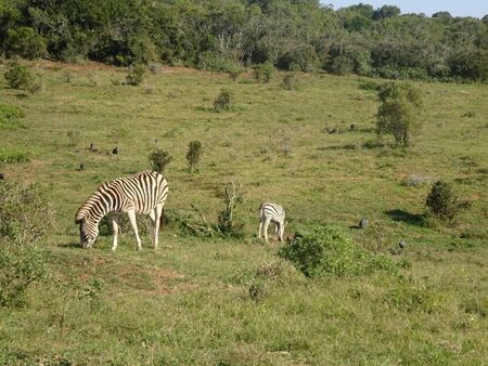 Zebras in Addo Elephant Park South Africa 版權商用圖片 - 128725423
