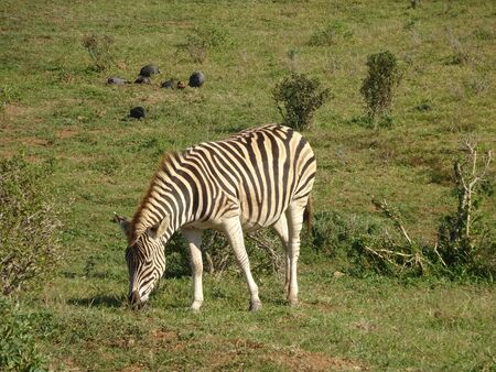 Zebras in Addo Elephant Park South Africa 版權商用圖片 - 128725422