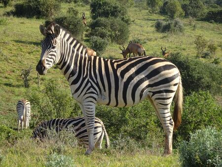 Zebras in Addo Elephant Park South Africa 版權商用圖片