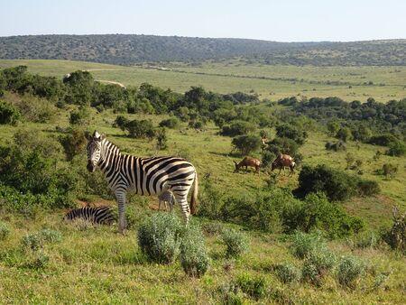 Zebras in Addo Elephant Park South Africa 版權商用圖片 - 128725476