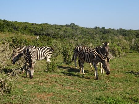 Zebras in Addo Elephant Park South Africa 版權商用圖片 - 128725481
