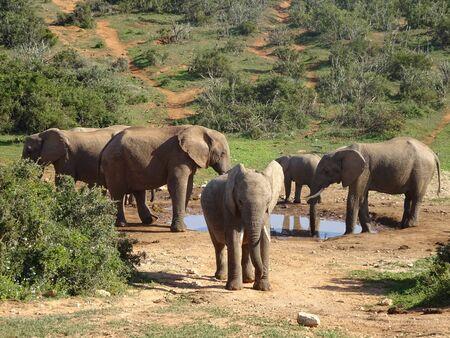 Group of elephants Addo elephant national park of South Africa 版權商用圖片 - 128725485