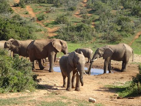 Group of elephants Addo elephant national park of South Africa 版權商用圖片 - 128725484