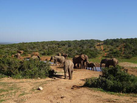 Group of elephants Addo elephant national park of South Africa 版權商用圖片 - 128725486
