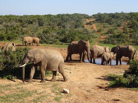 Group of elephants Addo elephant national park of South Africa 版權商用圖片 - 128725490