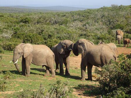 Group of elephants Addo elephant national park of South Africa