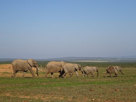 Group of elephants Addo elephant national park of South Africa 版權商用圖片 - 128725488