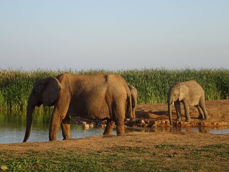 Group of elephants Addo elephant national park of South Africa 版權商用圖片 - 128725494