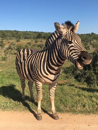 Zebras in Addo Elephant Park South Africa 版權商用圖片 - 128725529