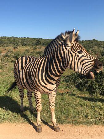 Zebras in Addo Elephant Park South Africa 版權商用圖片 - 128725532