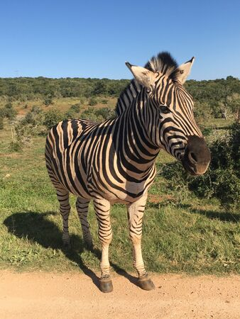 Zebras in Addo Elephant Park South Africa 版權商用圖片 - 128725531