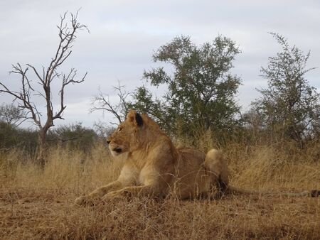Adult female lion lying on savannah of Kruger National Park in South Africa