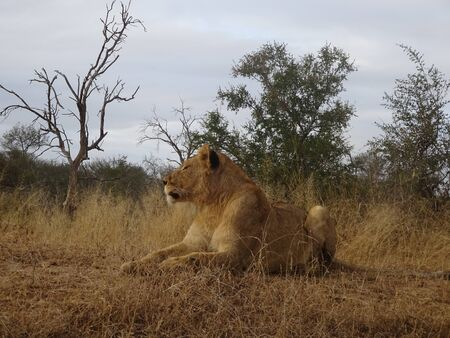 Adult female lion lying on savannah of Kruger National Park in South Africa 版權商用圖片 - 128725601