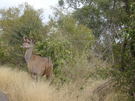 Great Kudu female Kruger National Park South Africa