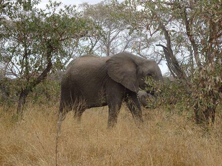 African Elephant Kruger National Park South Africa 版權商用圖片 - 128725605