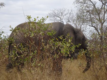 African Elephant Kruger National Park South Africa 版權商用圖片