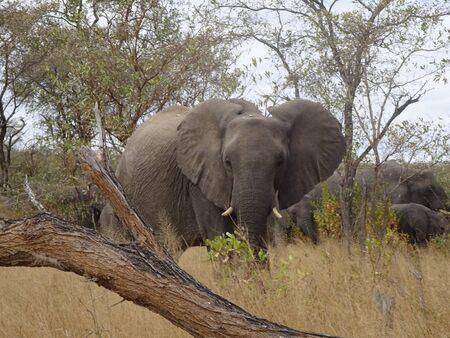 African Elephant Kruger National Park South Africa 版權商用圖片 - 128725602