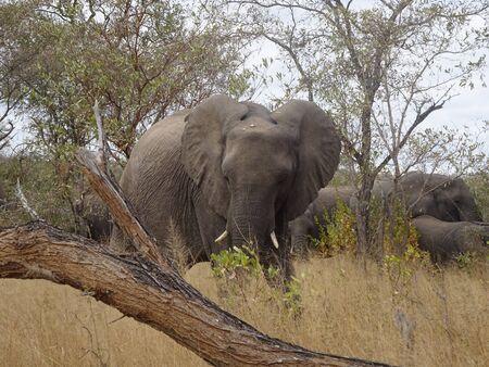 African Elephant Kruger National Park South Africa 版權商用圖片 - 128725608
