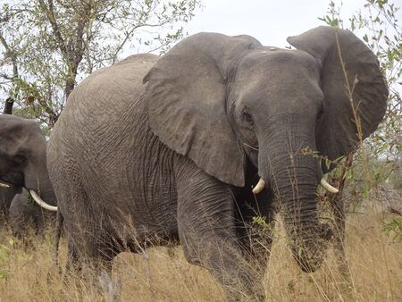 African Elephant Kruger National Park South Africa 版權商用圖片 - 128725613