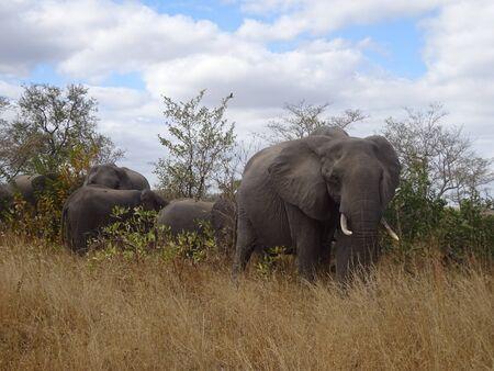 African Elephant Kruger National Park South Africa 版權商用圖片 - 128725617