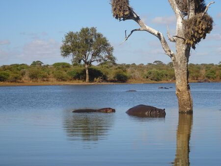 Hippopotamus in the Kruger National Park South Africa 版權商用圖片 - 128725616