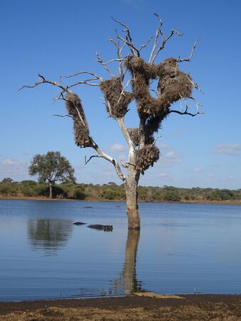 Hippopotamus in the river and crocodile on the shore Kruger National Park South Africa 版權商用圖片 - 128725620