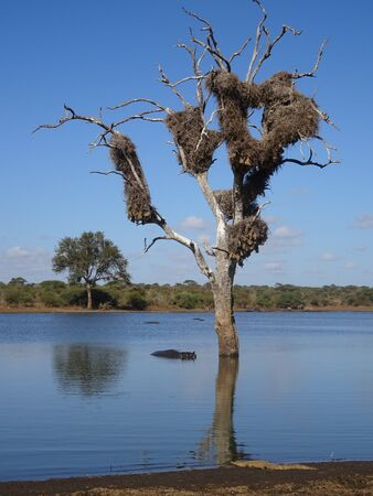 Hippopotamus in the river and crocodile on the shore Kruger National Park South Africa 版權商用圖片 - 128725576