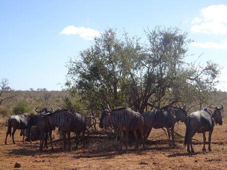 Herd of wildebeest under bush at Kruger National Park South Africa. 版權商用圖片 - 128725619