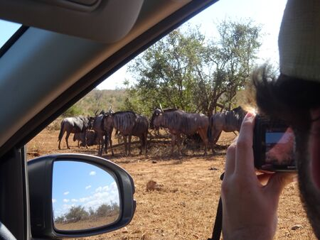 Making photography during safari to Herd of wildebeest under bush at Kruger National Park South Africa. Stockfoto
