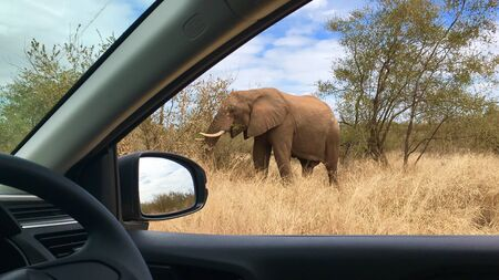 African Elephant Kruger National Park South Africa during safari 版權商用圖片