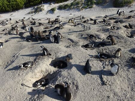 African Colony Penguins at Boulders Beach Table Mountain Nation Cape Bird South Africa 版權商用圖片 - 128725653