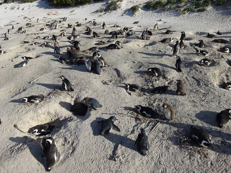 African Colony Penguins at Boulders Beach Table Mountain Nation Cape Bird South Africa 版權商用圖片 - 128725652