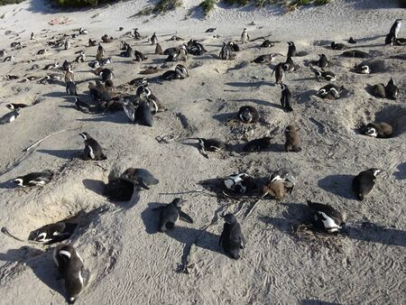 African Colony Penguins at Boulders Beach Table Mountain Nation Cape Bird South Africa 版權商用圖片 - 128725658