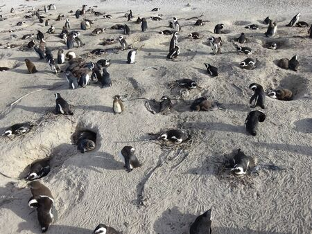 African Colony Penguins at Boulders Beach Table Mountain Nation Cape Bird South Africa 版權商用圖片 - 128725664