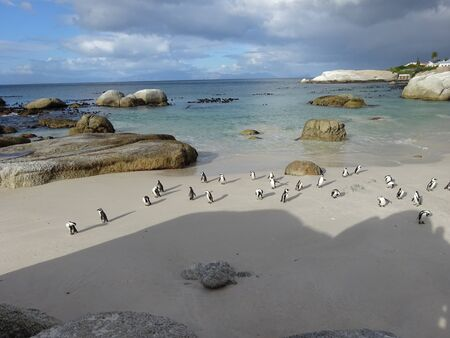 African Colony Penguins at Boulders Beach Table Mountain Nation Cape Bird South Africa 版權商用圖片 - 128725657