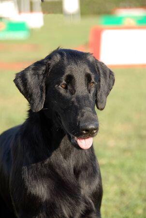 Flat coated retriever black purebred dog