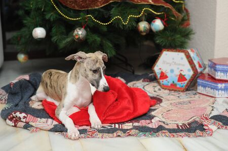 Whippet puppie purebred dog in Santa Claus sack at the foot christmas tree next to gift boxes