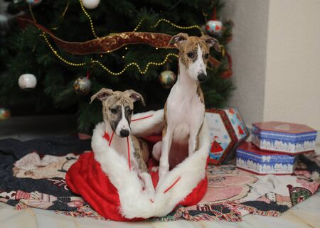 Whippets puppies purebred dog in Santa Claus sack at the foot christmas tree next to gift boxes