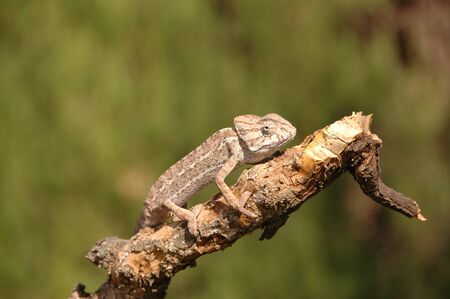 Chameleon species in extinction in malaga on a branch