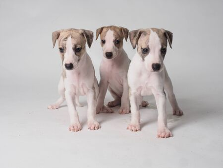 Whippets puppies with 36 days old tabby and white color