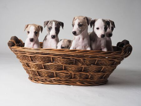 Whippet puppy with 36 days old tabby and white into the basket 版權商用圖片