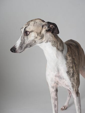 Whippet purebred dog adult with tabby and white color 版權商用圖片