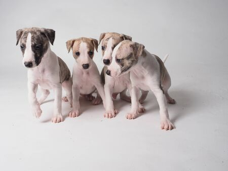 Whippets puppies group with 36 days old tabby and white color