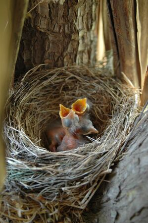 Chicks in the nest opening the beak to eat