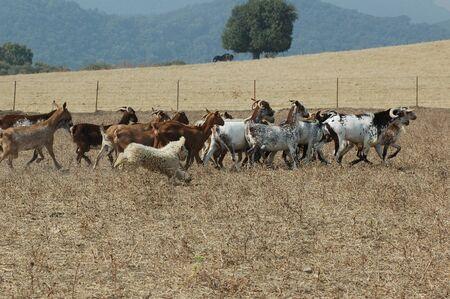 Spanish water dog grazing goat herd 版權商用圖片